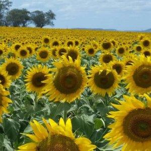 www.highlifemagazine.net - Highlife Magazine - Sunflowers Bloom